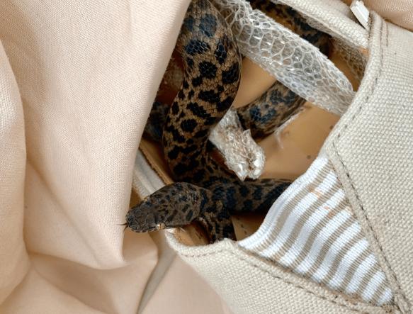 serpiente viaja en zapato de una turista