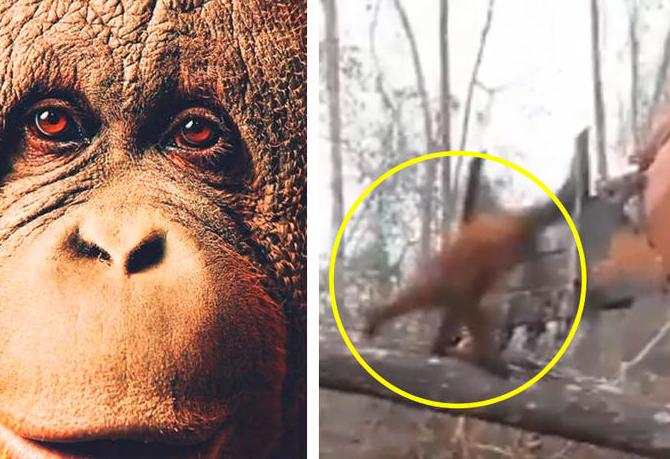 Orangután se enfrenta a excavadora que destruye su habitát