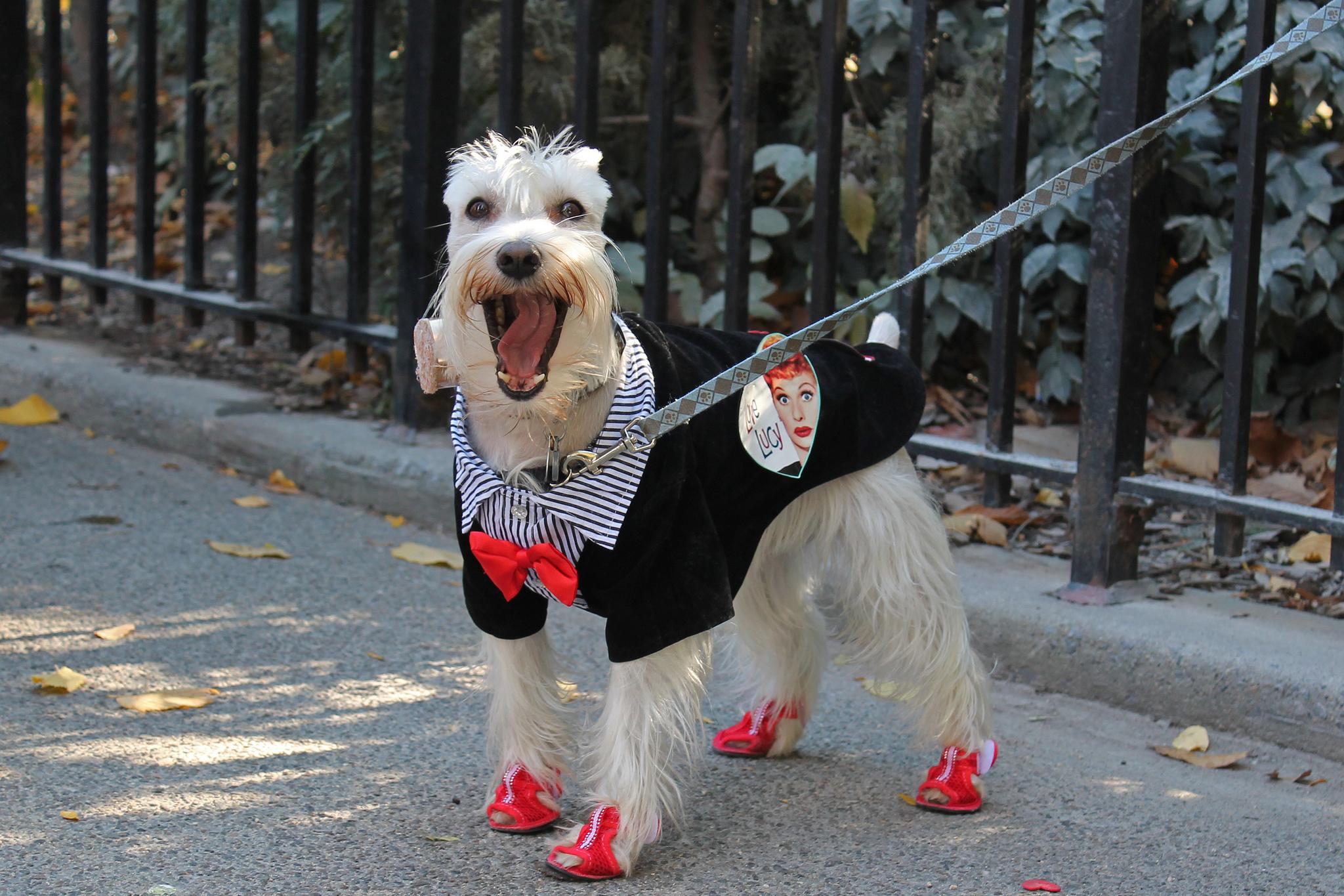 ¿Es saludable ponerle ropa y zapatos a tu perro?