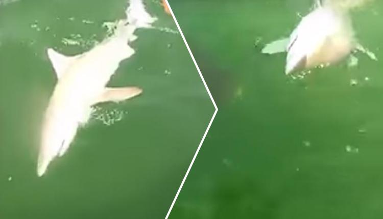 Pescadores atrapan a un tiburón, pero este es devorado por un pez