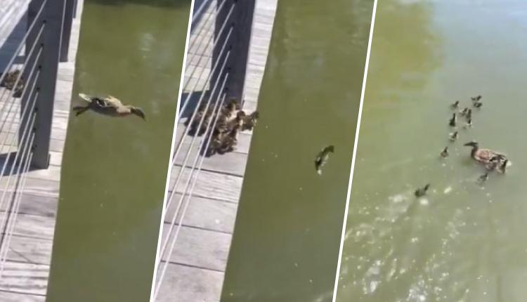 Patitos siguen a su madre cuando salta al río y su reacción causó ternura en cibernautas