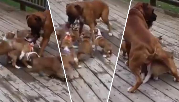 Cachorros hambrientos confunden a su padre con su madre y las redes 'estallan' de ternura