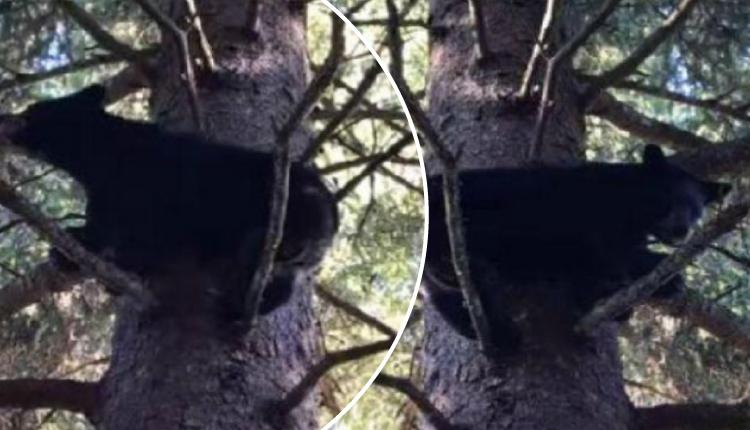 Oso hace 'twerking' sobre las ramas de un árbol y se roba más de una carcajada
