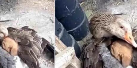 Pato abriga con sus alas a un cachorro del frío y sorprende a todos