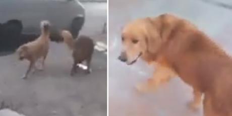 Perrito escapa al escuchar la voz de la 'Chica Badabun'