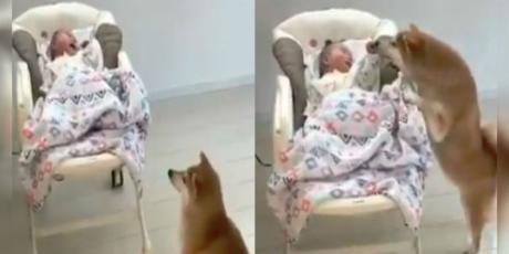 Perrito sorprende al mundo por su 'habilidad' para tranquilizar a un bebé