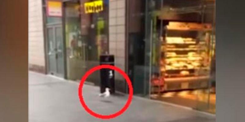 Gaviota sorprende con su manera de 'robar' una bolsa de papas fritas en una tienda