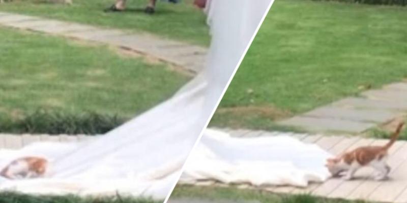 Gato se quedó dormido en el vestido de la novia que caminaba al altar