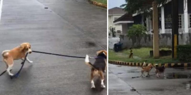 Perro toma la correa de su hermano, se van a dar un paseo juntos y sorprenden a todos en al red