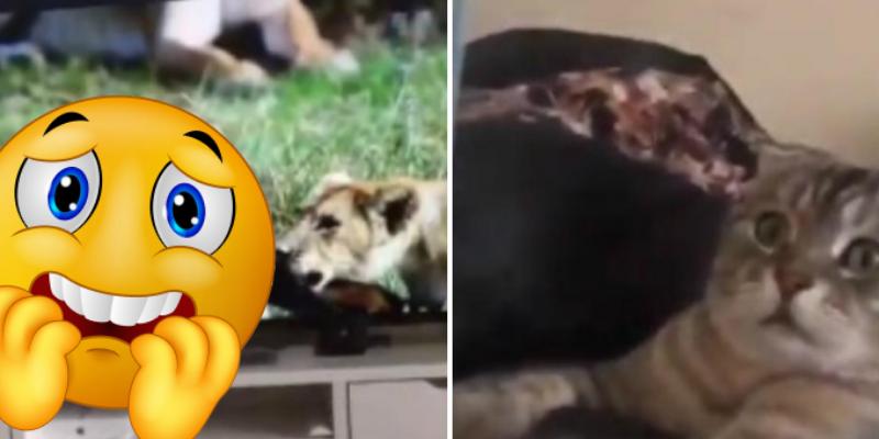 Gato ve cómo unas leonas devoran su presa y su reacción sorprende a cibernautas
