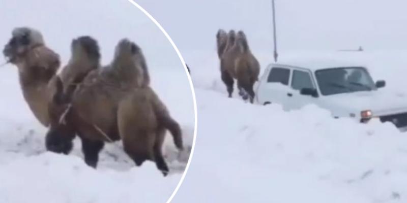 Camello saca a un vehículo atascado en la nieve y su fuerza asombró a cibernautas