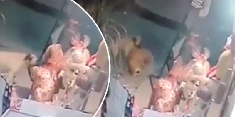 Cámara capta a perrito robando un oso de peluche en tienda de regalos
