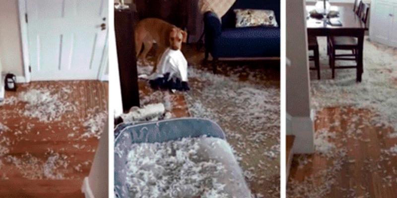 Joven descubre a su perro destruyendo la sala y este tiene insólita reacción