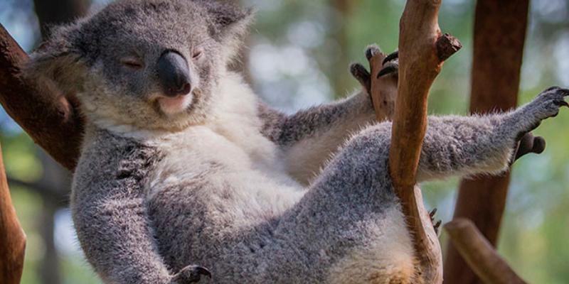 Un koala 'seductor' conquista las redes con su pose de modelo