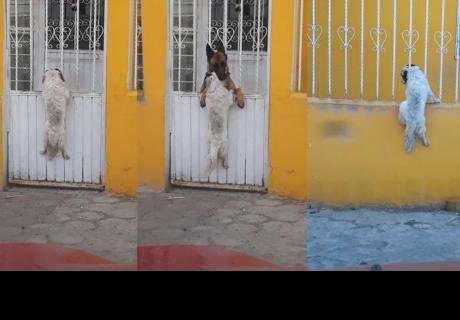 Perros protagonizan historia de amor y final ha cautivado a  usuarios en Twitter
