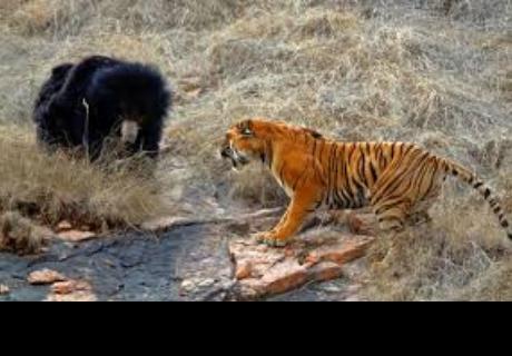 Publican video de la escarnizada pelea de un tigre con una osa