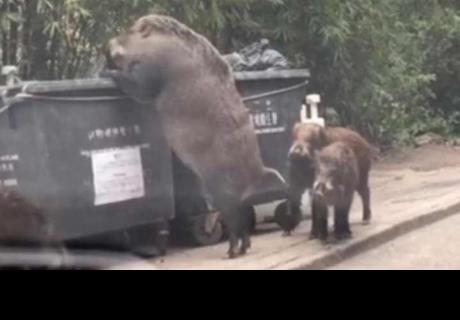 Captan a jabalí gigante comiendo de un bote de basura