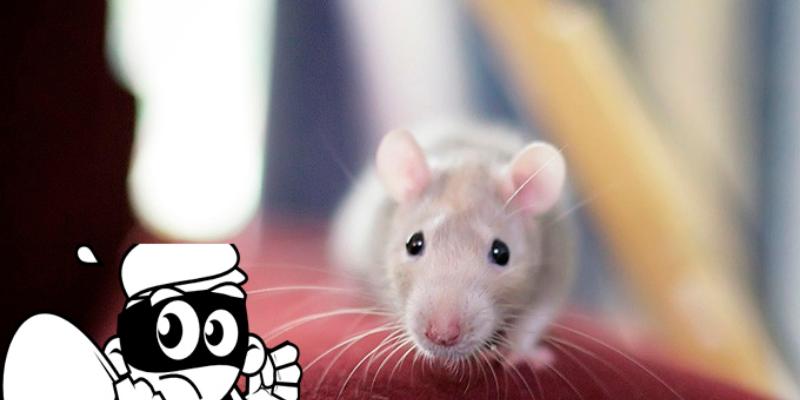 Pequeña rata roba pendientes de diamantes de una tienda