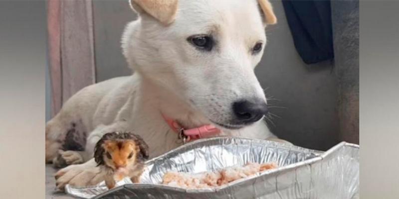 Perro 'comparte' su comida con un pollito y emociona a todos