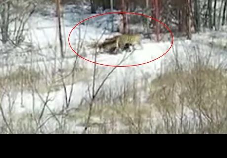 Una tigresa aterroriza una aldea rusa
