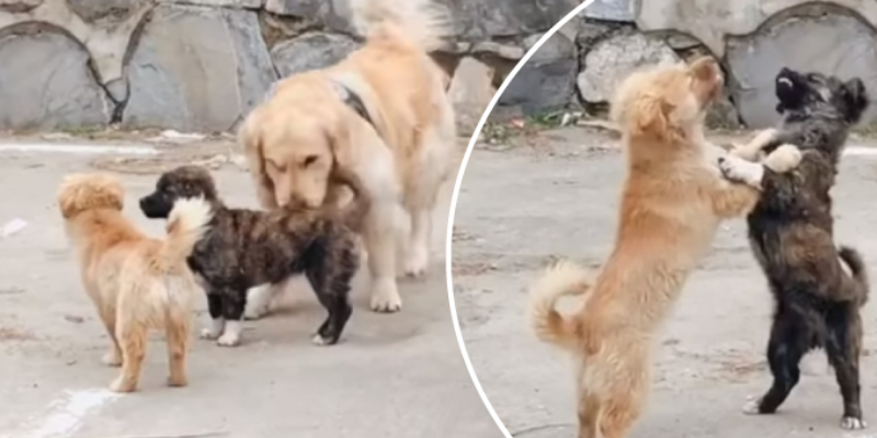 Perros intentan pelearse, pero terminan bailando romántica canción