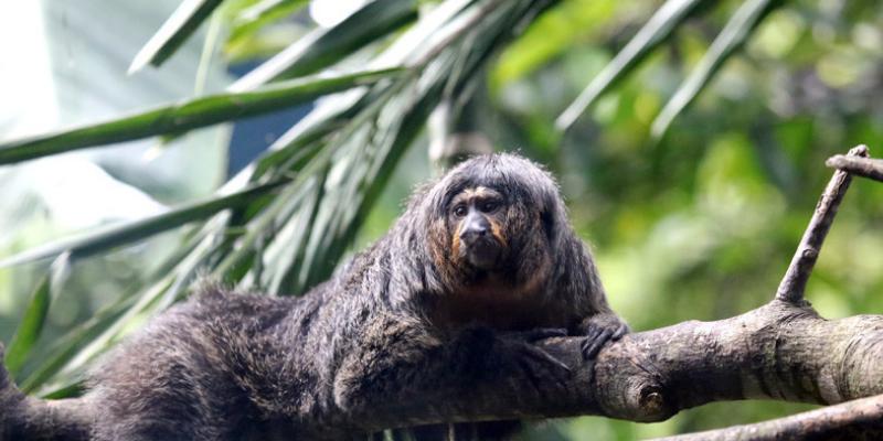 Curioso mono causa impresión con sus músculos de 'fisicoculturista'