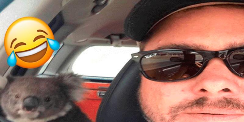 Hombre deja a su perro en el carro y cuando volvió encontró a un koala