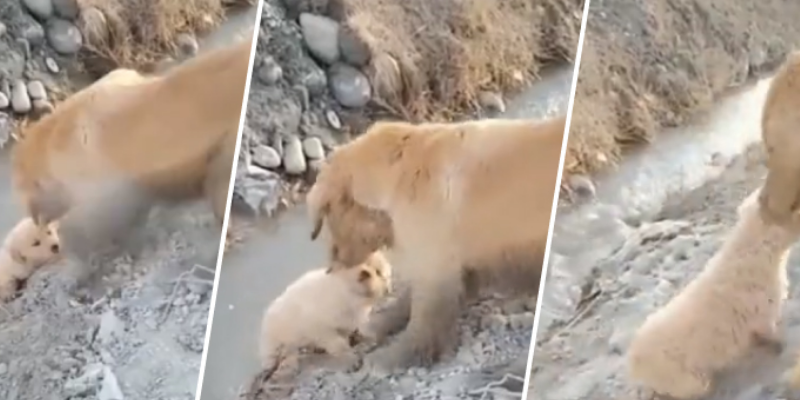Cachorro estuvo a punto de caer a un río, su madre lo salvó y cibernautas quedan enternecidos