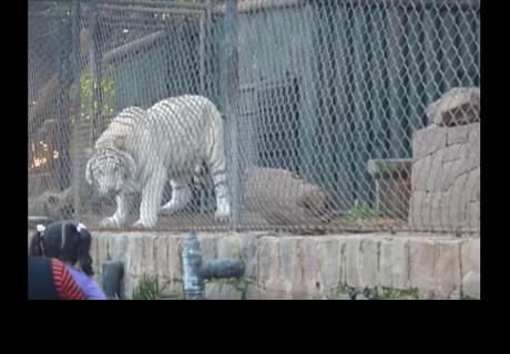 Filmaban a un tigre blanco en zoológico y este hizo algo que llamó la atención