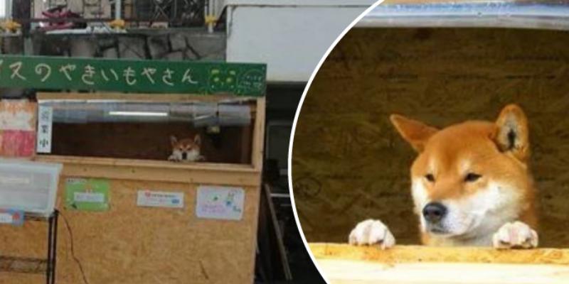Perrito vende camotes rostizados y se ha vuelto toda una sensación en Japón