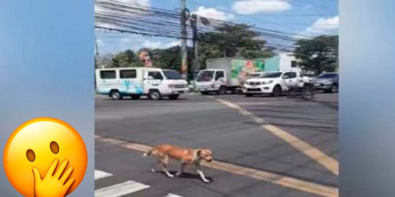 Perro espera que cambie la luz del semáforo para cruzar la calle y causa asombro