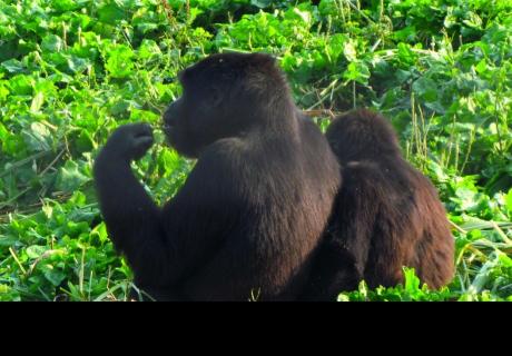 Una gorila y un hombre se abrazan y van de la mano por un parque