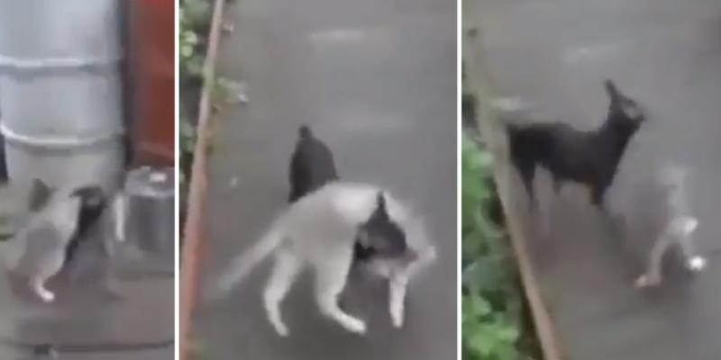 Perrito evita que su amigo gatuno participe en una pelea callejera y lo regresa a casa