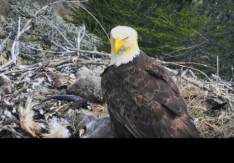 Un águila se asusta con un sismo y hace lo impensado