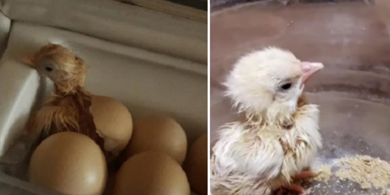 Mujer compró un paquete de huevos y de uno de ellos nació un pollito