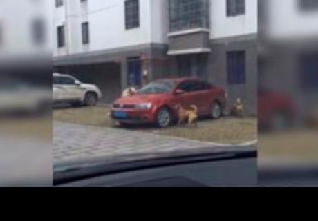 Perrita llama a sus amigos para destruir el carro del hombre que la pateó