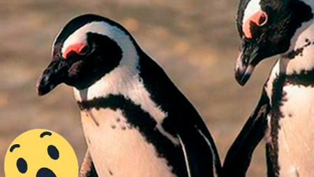 Nace un pingüino albino y sorprende al mundo con su inusual apariencia