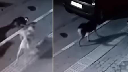 Gato callejero se enfrenta a 6 perros y les da dura lección