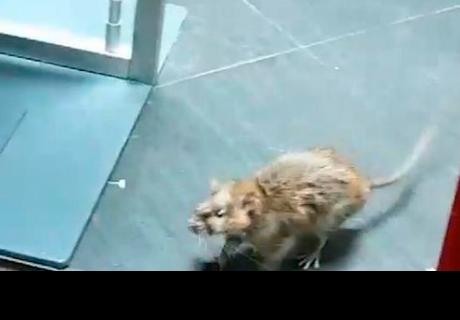 Filman a enorme rata en una conocida tienda de ropa