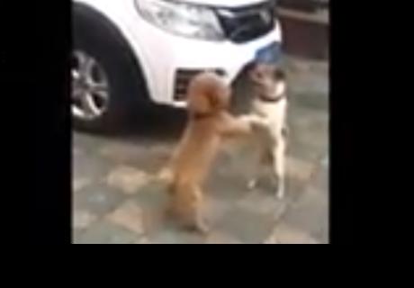 Perros que bailan después de pelear causan sensación en la red