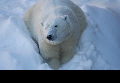 Un oso polar se atasca en la ventana de un almacén tras comer chocolate