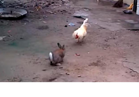 Pelea entre gallo y conejo asombra a miles en la red