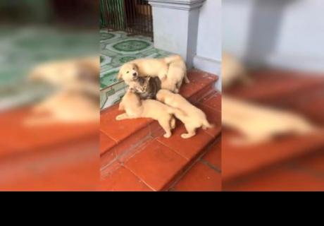 Cachorros intentan jugar con gato gruñón y todo termina de la forma menos pensada