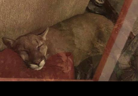Mujer encuentra a un león en su casa y logra dormirlo usando la telepatía