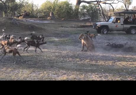 A esta leona no le importó enfrentarse a grupo de hienas para salvar a su cachorro