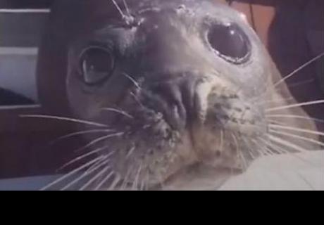 Foca huye de orcas subiendo a un barco y su historia se vuelve viral