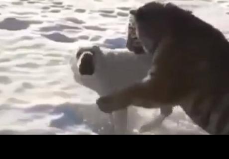 Un tigre se lanza sobre un perro y sorprende a todos con un final inesperado