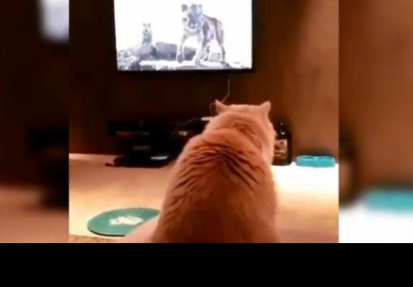 Gato queda en ridículo al tratar de imitar a un tigre