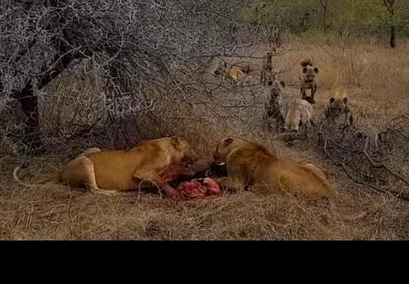 Leonas devoraban a jabalí moribundo, pero fueron sorprendidas por manada de hienas