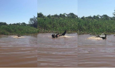 Duelo a muerte entre jaguar y caimán tuvo un inesperado ganador